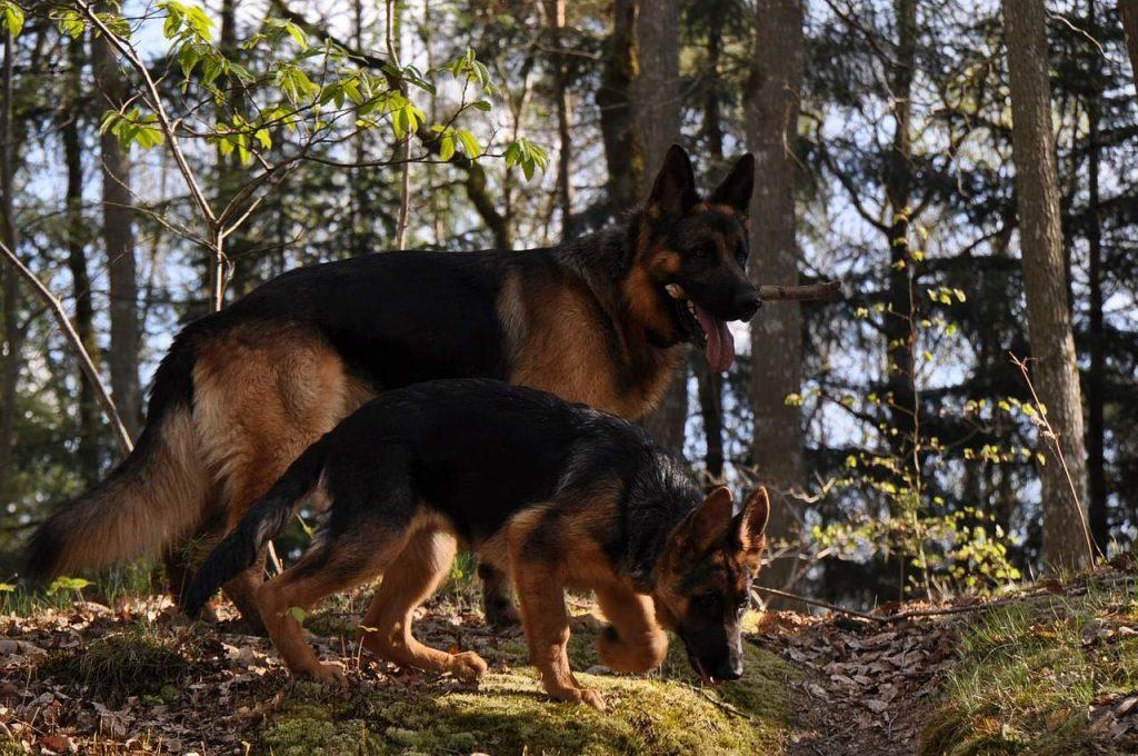 Dva psa šetaju šumom