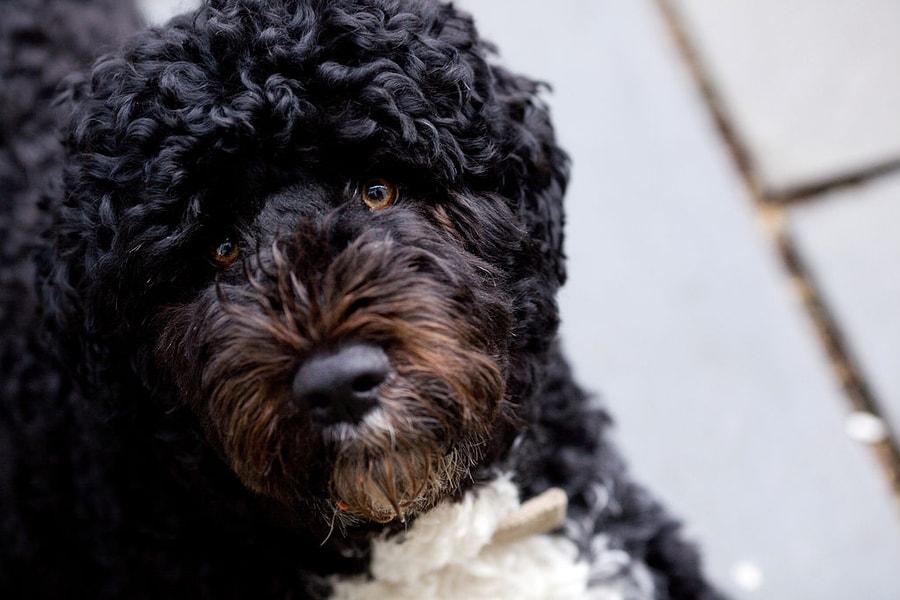 glava crnog portugalskog psa