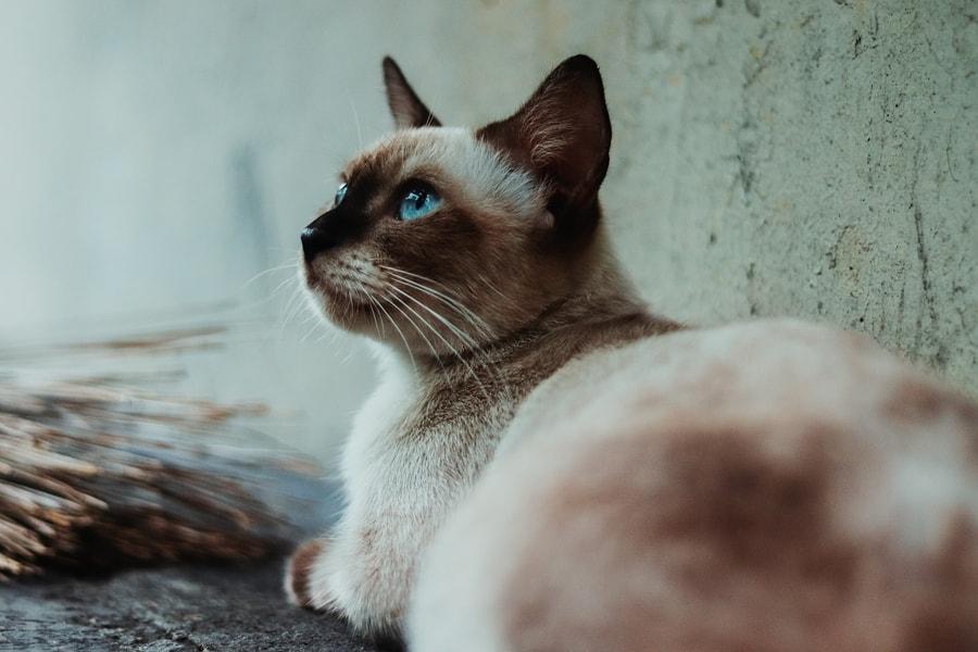 Sijamska mačka leži pored zida