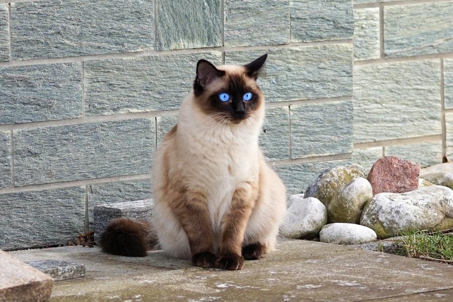 Sijamska mačka ima plave oči