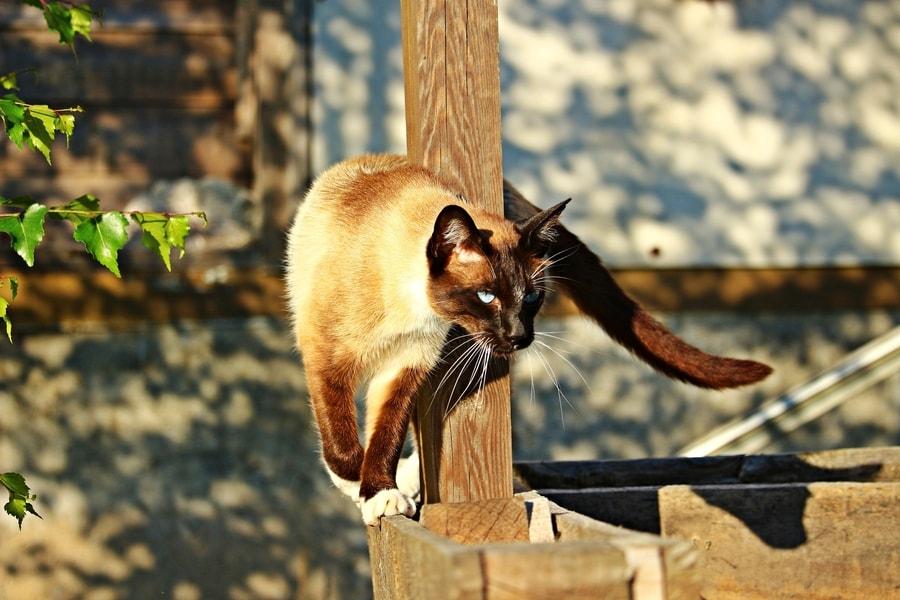 Sijamska maca stoji pored drvenog stuba