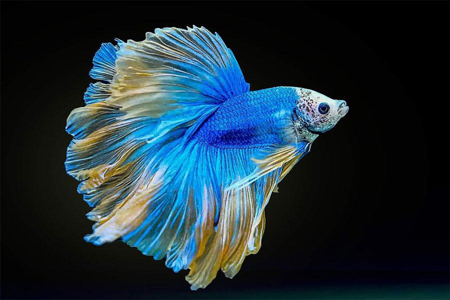 riba borac sa žuto plavim perajima