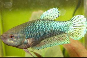 zelenkasta ženka ribice borac