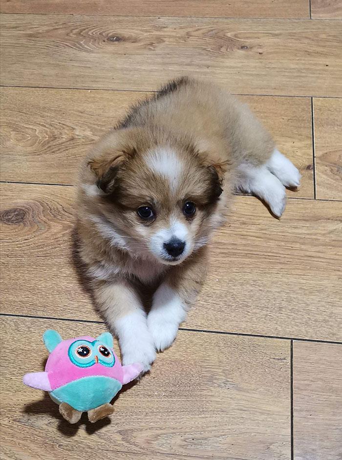 Mali žuto bijeli pas leži pored plavo ljubčaste igračke