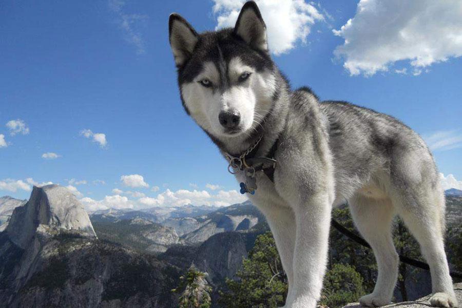 Sivo bijeli sibirski hask stoji na planini a iza njega se vide planina i nebo