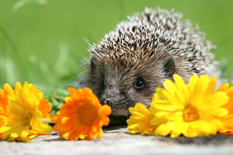 jež se krije iza cvijeća