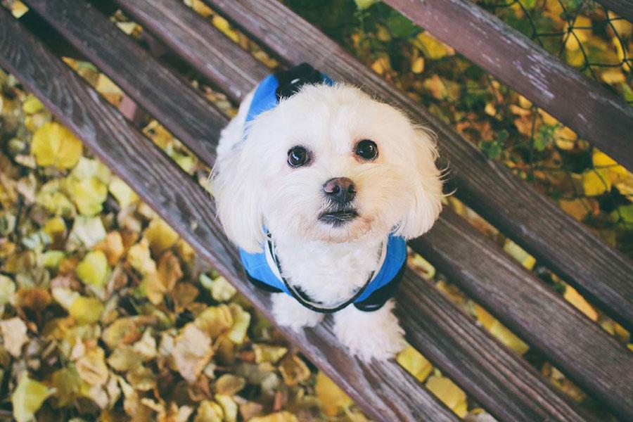 mali bijeli pas u plavoj jakni sjedi na drvenoj klupi