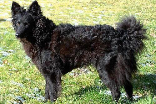crni pas, rase mudi, stoji na livadi