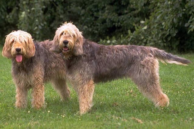 dva smeđa psa rase vidraš stoje na zelnoj travi