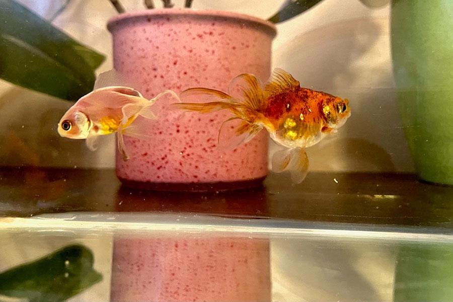 dvije ribice u akvarijumu
