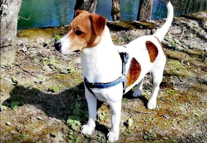 smeđe bijeli pas rase džek rasel terijer stoji