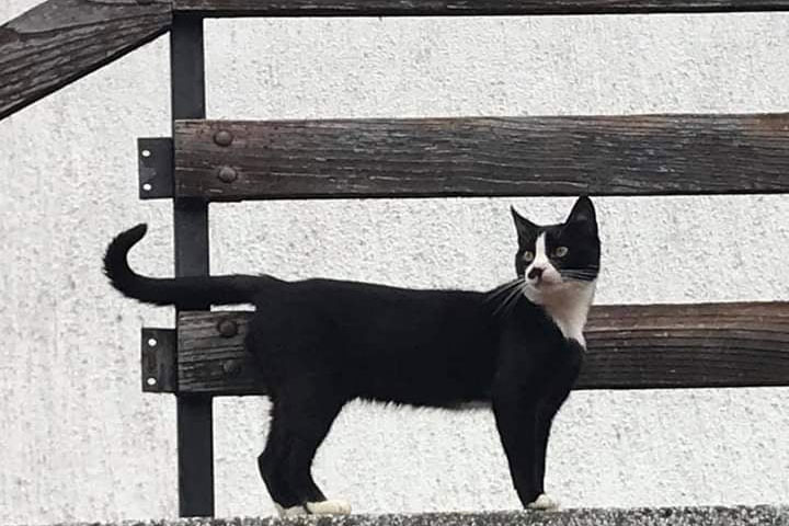 crno bijeli mačak stoji