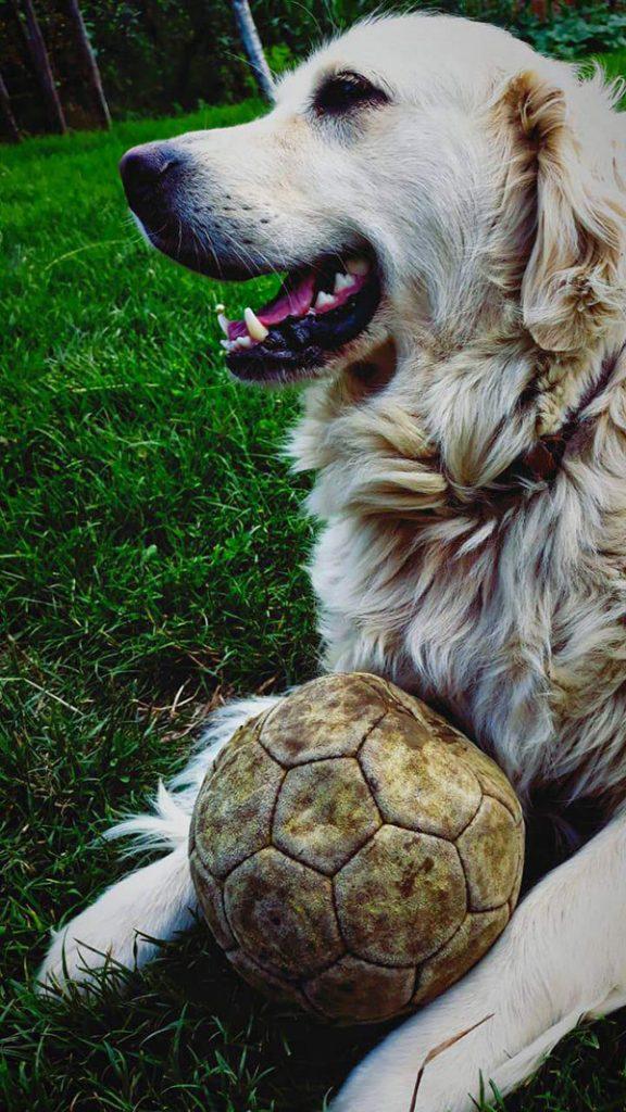 Pas leži na travi i drži loptu
