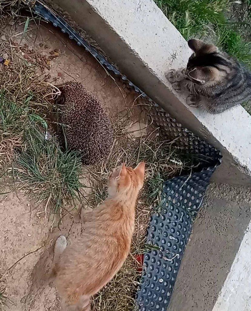 mačke i jež