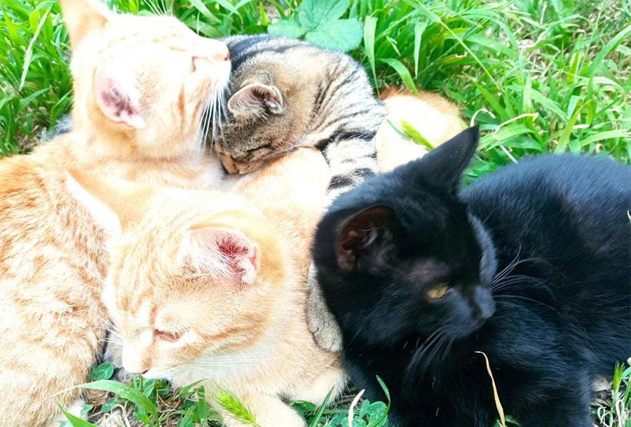 četiri mačke leže sklupčane na travi