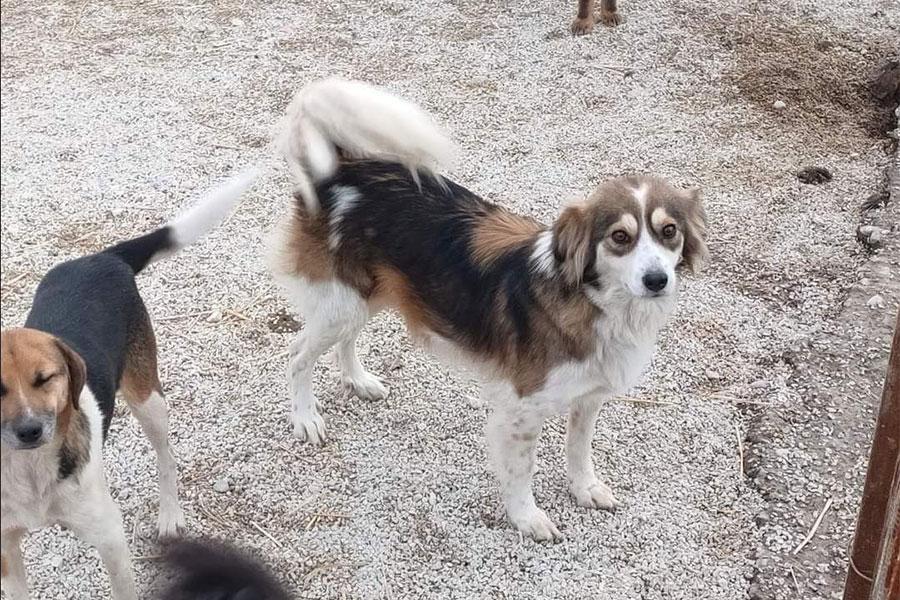 bijelo smeđi pas