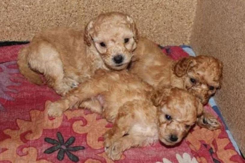 tri šteneta pudlice
