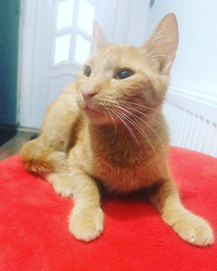žuta mačka leži na crvenoj podlozi