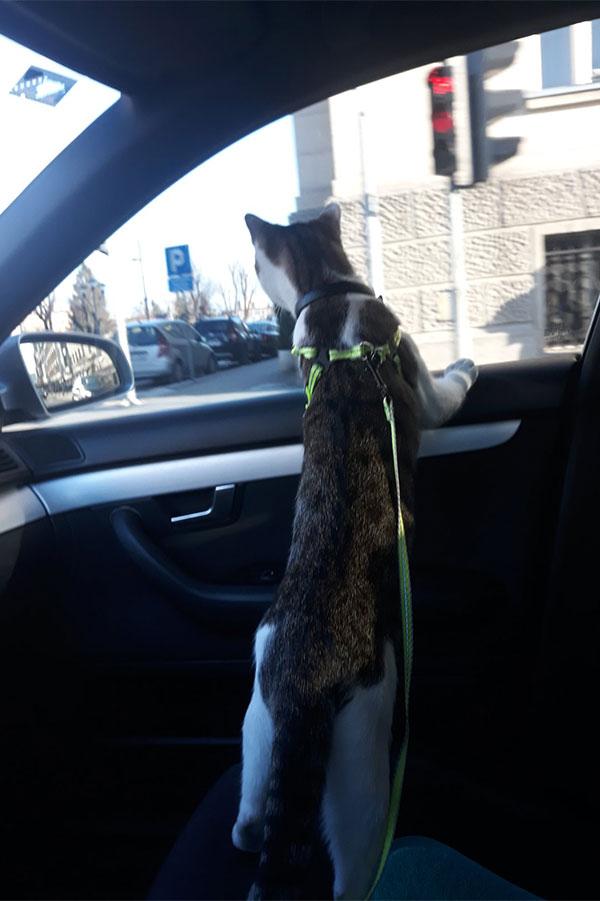 mačka gleda kroz prozor automobila
