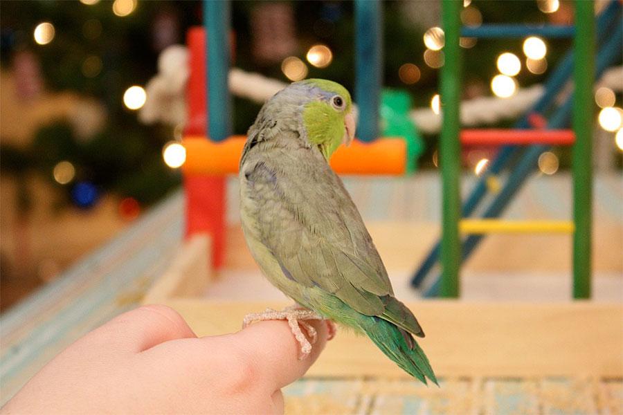 zeleni vrapcoliki papagaj